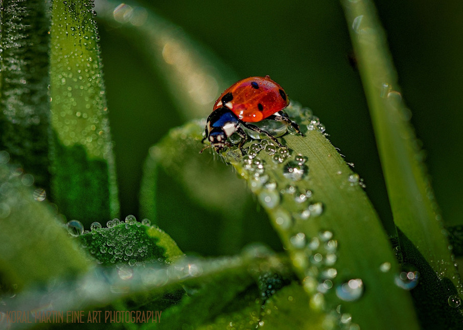 Waterdrops 9104  Photograph   Flower  Photography    Koral Martin Fine Art Photography