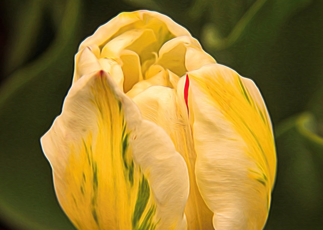 Cream yellow tulip Photograph 0255L  | Flower Photography | Koral Martin Fine Art Photography