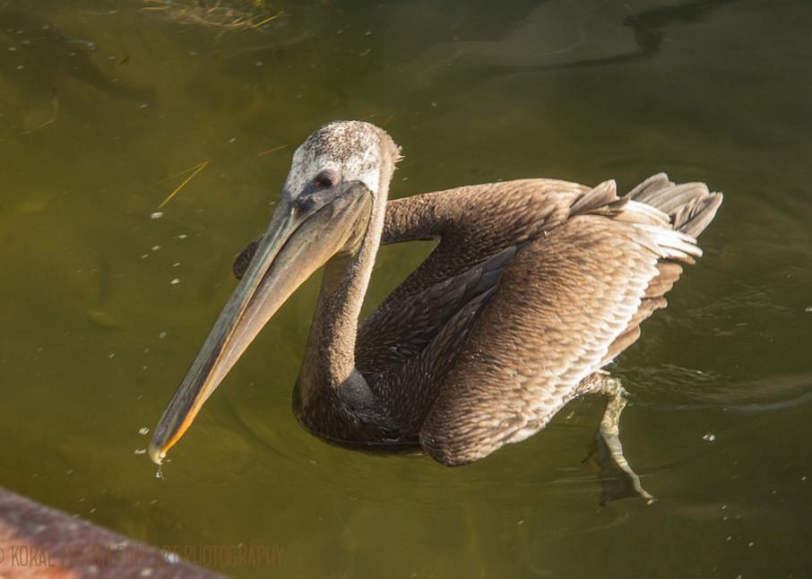 Pelican  Photograph 9063 FL  | Florida Photography | Koral Martin Fine Art Photography