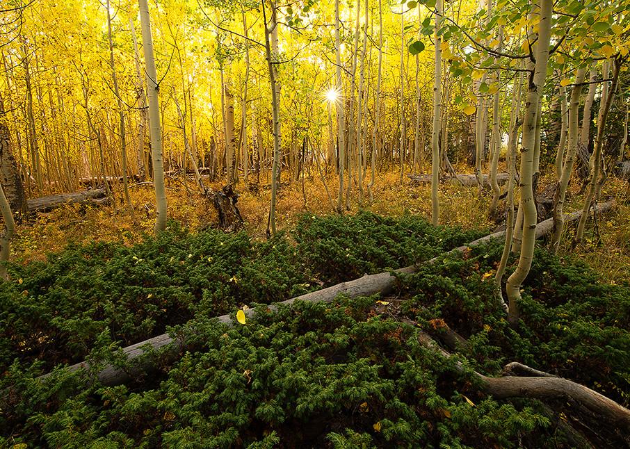 Sunburst aspen trees in Zion