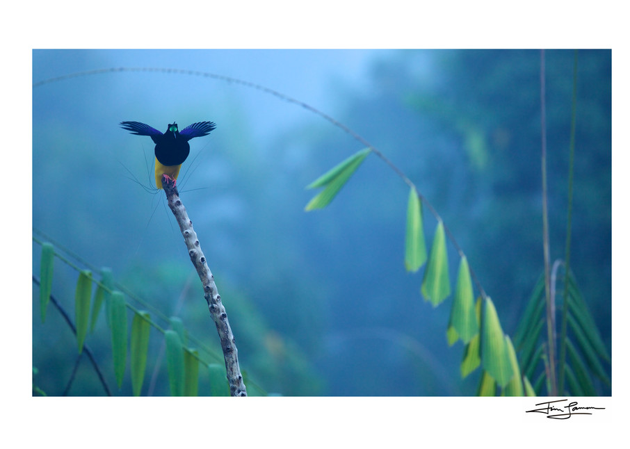 A male Twelve-wired Bird-of-Paradise spreads his wings and calls from his favorite display perch in Nimbokrang,  Papua, Indonesia.