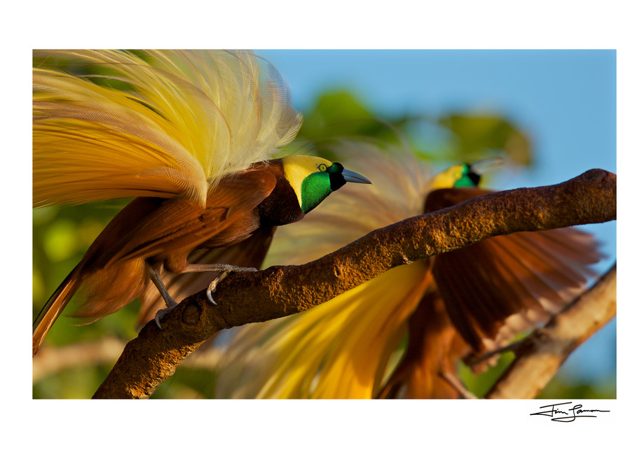 Greater Bird-of-Paradise Males displaying in Indonesia.