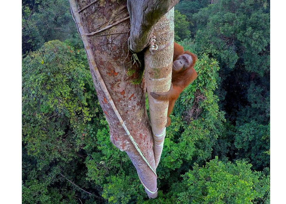 Photograph of an orangutan climbing tree.