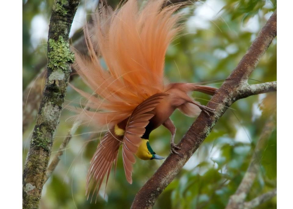 Plume Explosion   Raggiana Bird Of Paradise Photography Art   Tim Laman Photo