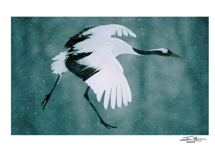 A Red-crowned Crane flies through falling snow.