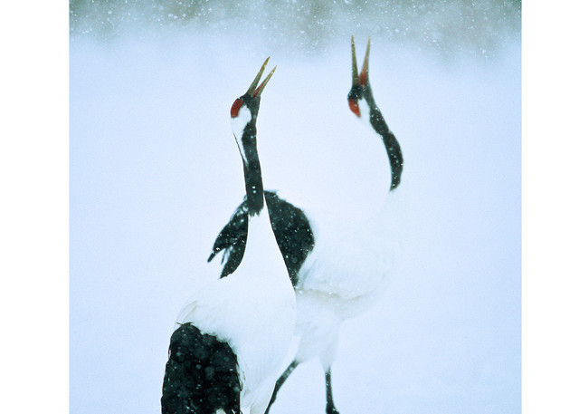 A pair of red-crowned cranes calling.