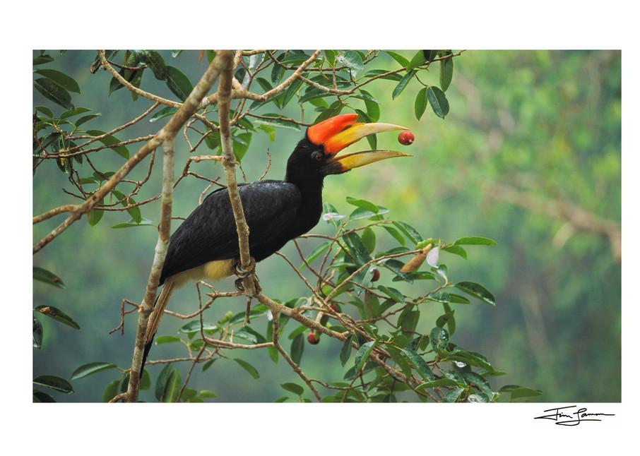 Rhinoceros hornbill tosses fig in Borneo.