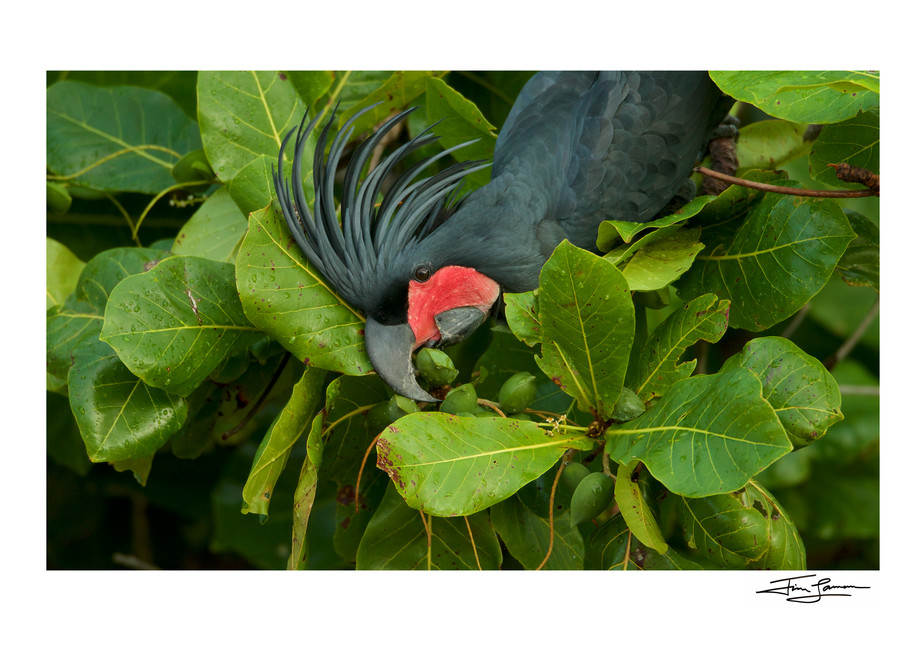 Palm Cockatoo (Probosciger aterrimus) feeding on Beach Almond (Terminalia catappa)