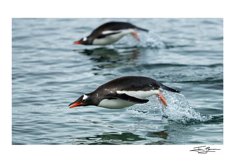 Photograph of flying Gentoo penguins.