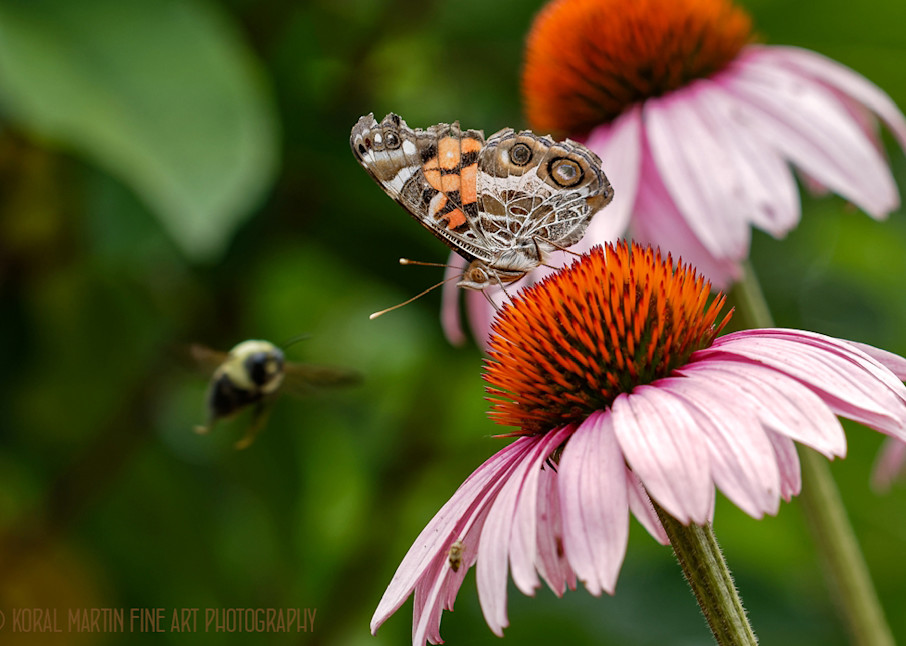 Butterfly and Bee on Flower Photograph 9528 | Insect Photography | Koral martin Fine Art Photography