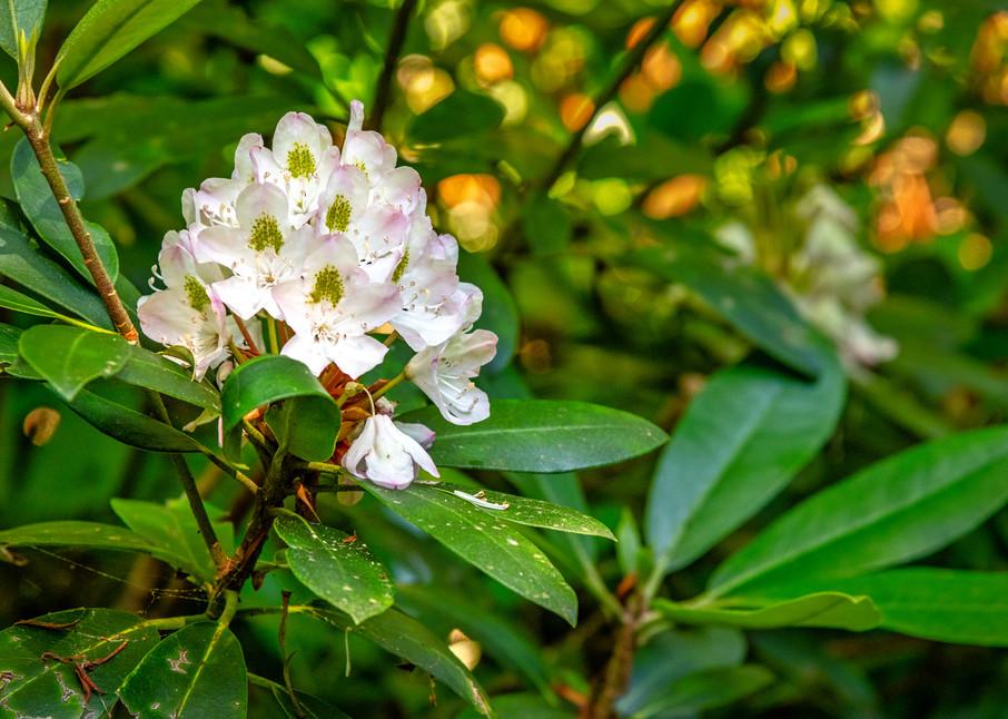 Wild rhododenron Nantahala Mountains photography prints