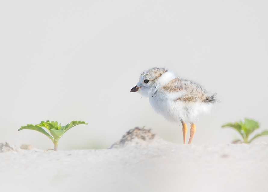 Cute Piping Plover Chick Fine Art Print