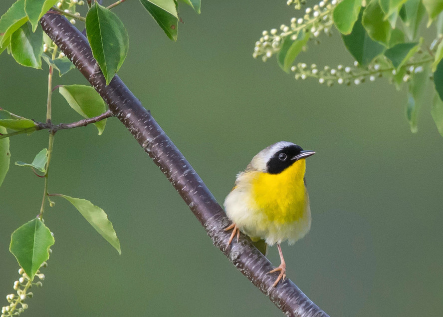 Common Yellowthroat   Perched On Branch Art   Sarah E. Devlin Photography