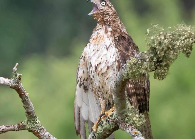 Red  Tailed Hawk   Calling Art | Sarah E. Devlin Photography