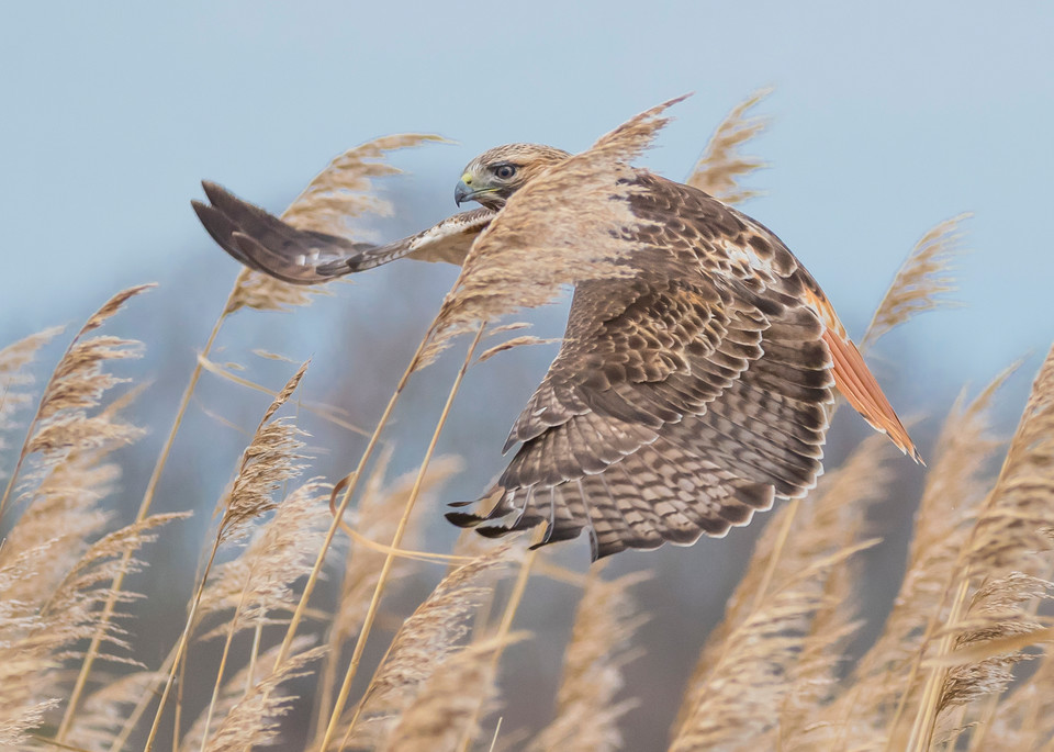 Red Tailed Hawk On The Hunt Art   Sarah E. Devlin Photography
