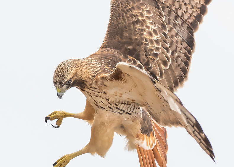 Red Tailed Hawk   Eye On The Target Art | Sarah E. Devlin Photography