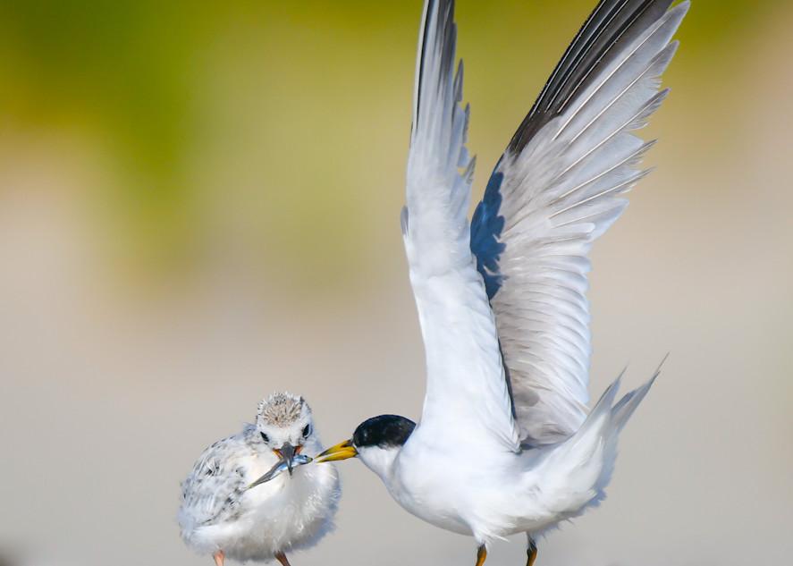 Tern Chick Feeding Art | Sarah E. Devlin Photography