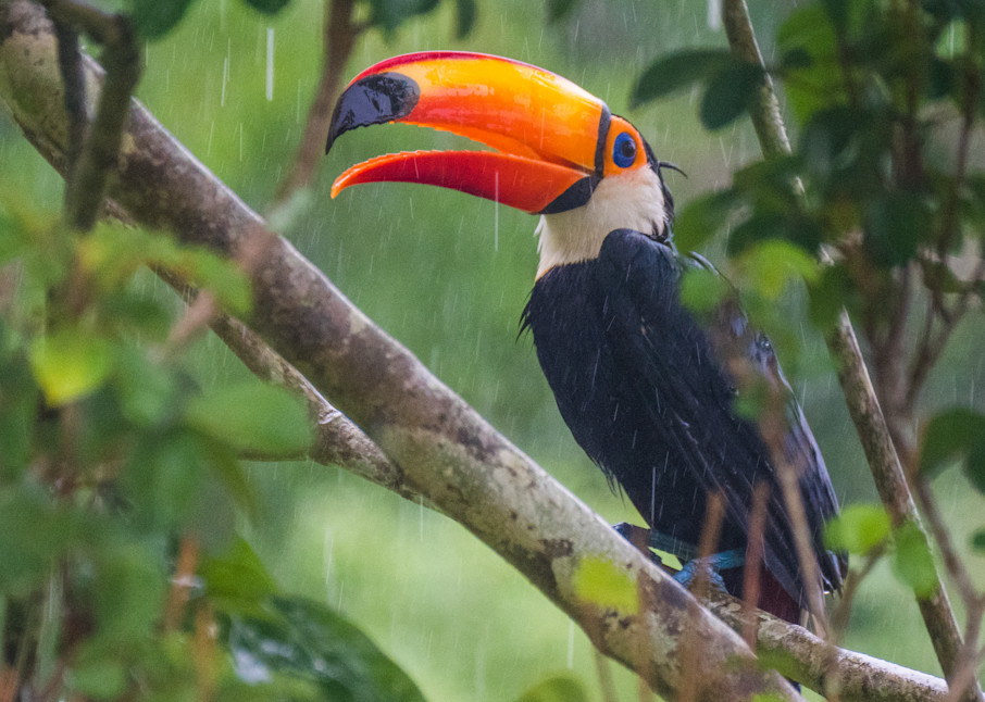Toucan In The Rain Photography Art | Peter Batty Photography
