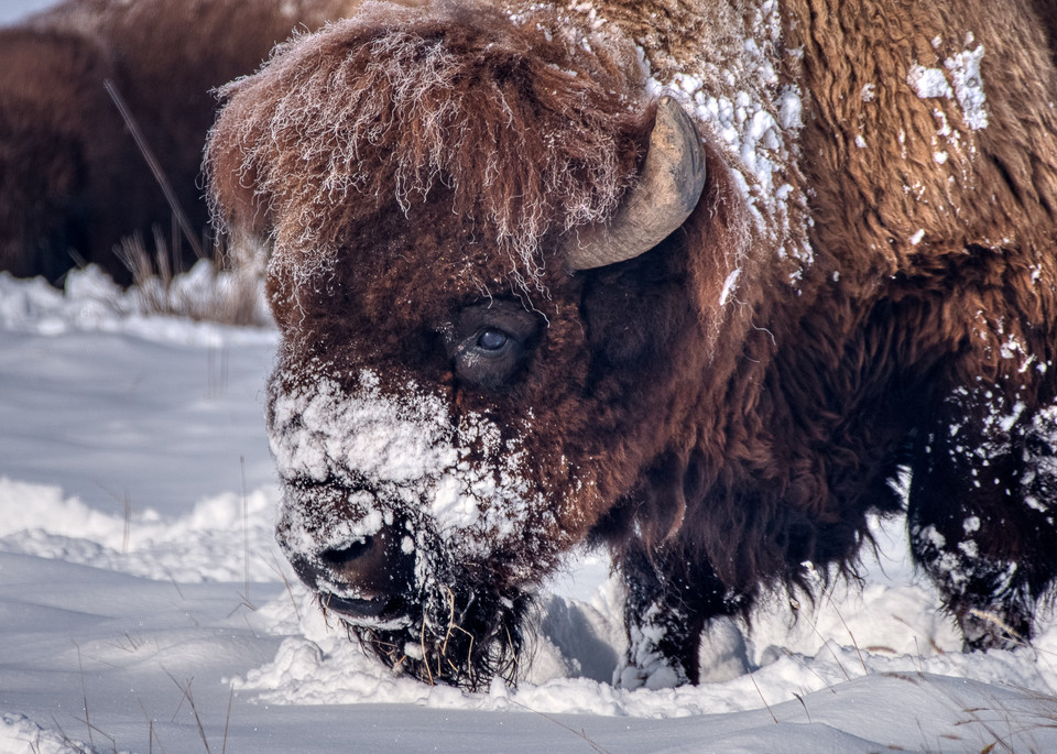 Bison In The Snow Ii Photography Art | Peter Batty Photography