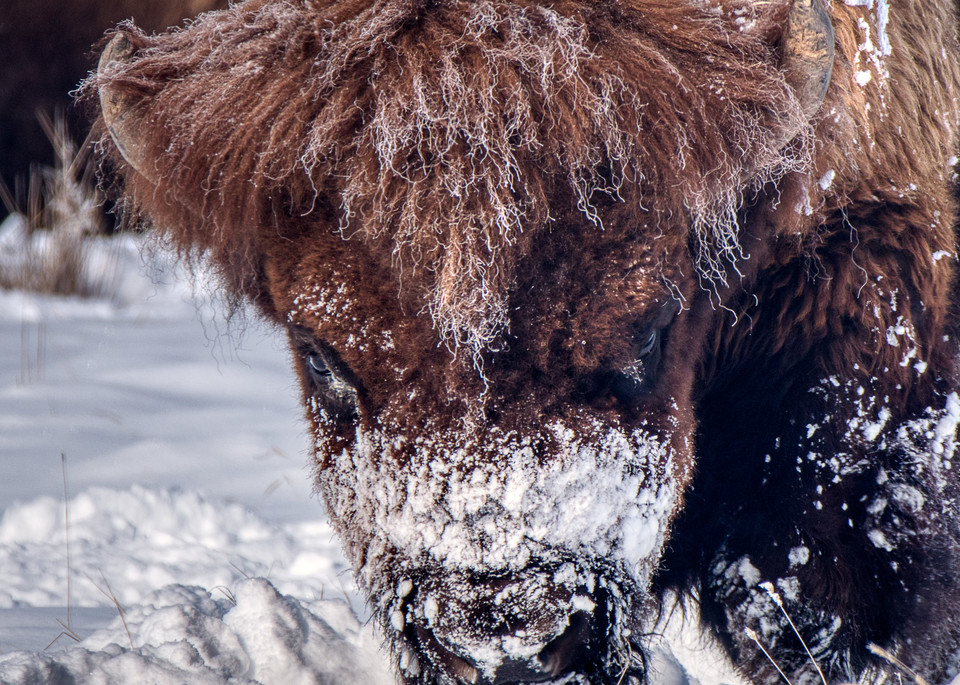 Bison In The Snow I Photography Art | Peter Batty Photography