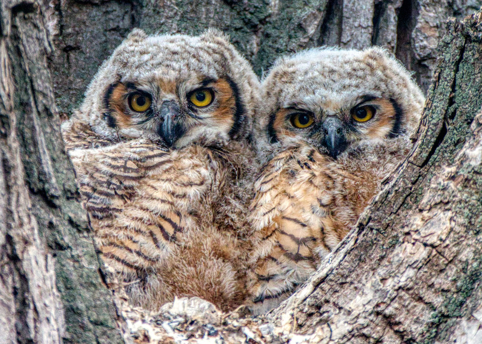 Owlets In Their Nest Photography Art | Peter Batty Photography