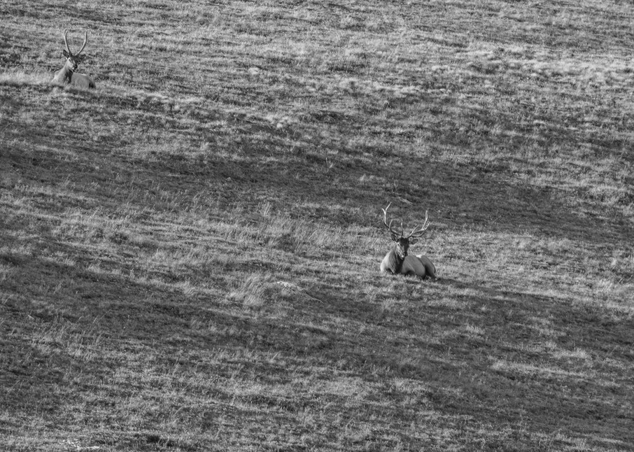 Resting Elk Art | Artist David Wilson