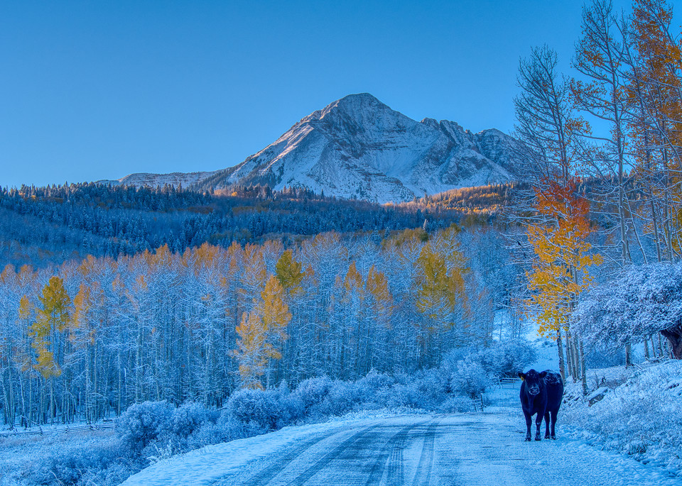 Black Cow, White Snow, Fall Colors Photography Art | Peter Batty Photography