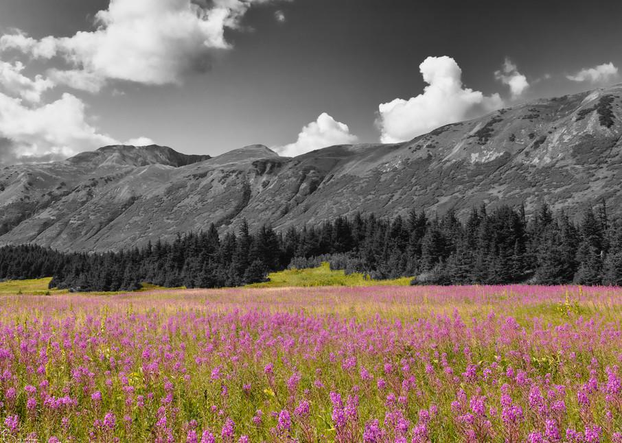 Field of Fireweed (Epilobium augustifolium) at Turnagain Pass in Southcentral Alaska.  Summer. Afternoon.