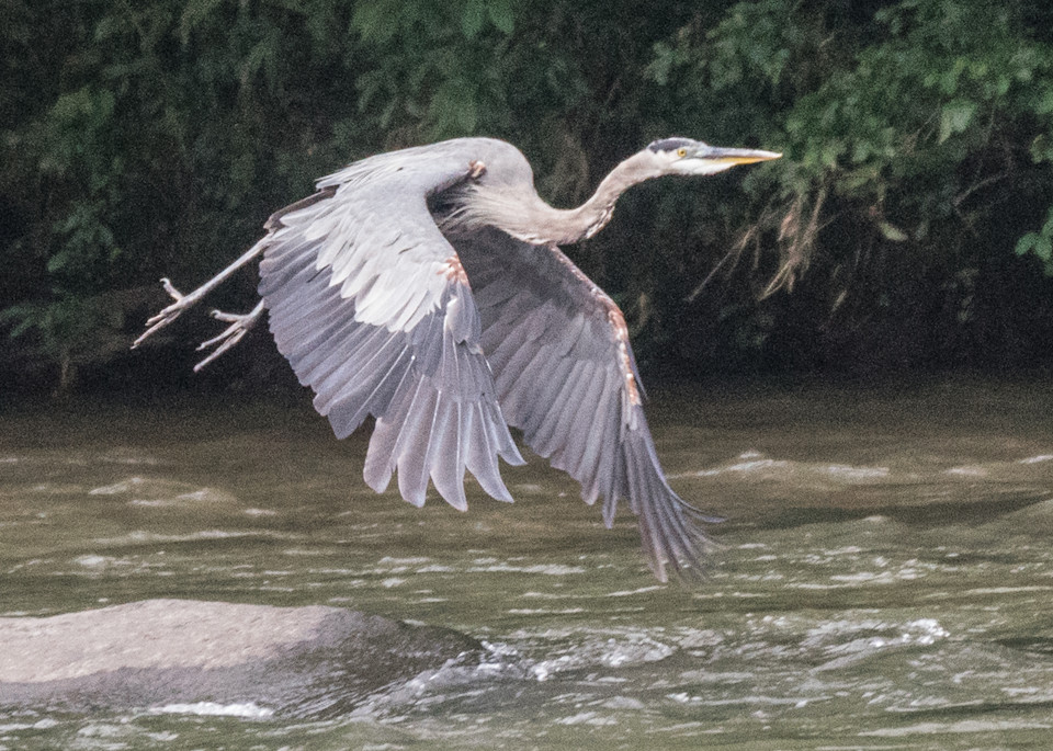 Great Blue Heron In Flight Art | Drew Campbell Photography