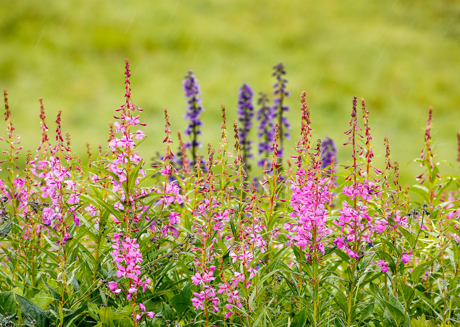 Fireweed And Larkspur Photography Art | Ray Bulson Photography
