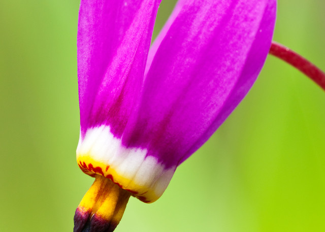 A macro closeup (Dodecatheon pulchellum) of a single Shooting Star flower in late spring at Eklutna Flats in Southcentral Alaska. Afternoon.