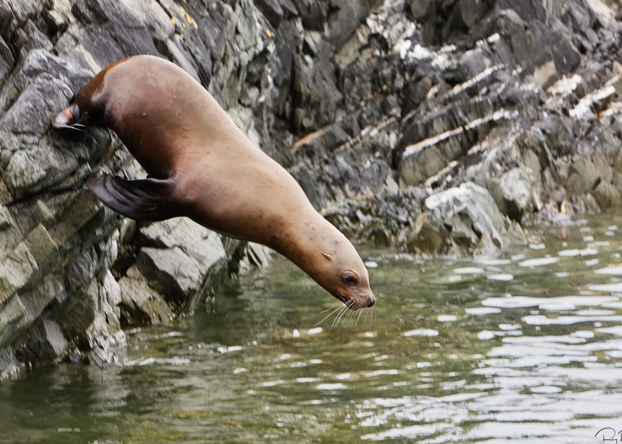 A Steller Sea Lion (Eumetopia jubatus) dives into the water of Frederick Sound from a cliff on Sail Island rookery in the Inside Passage of Southeast Alaska. Summer. Afternoon.