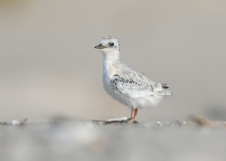 Common Tern Chick Art   Sarah E. Devlin Photography