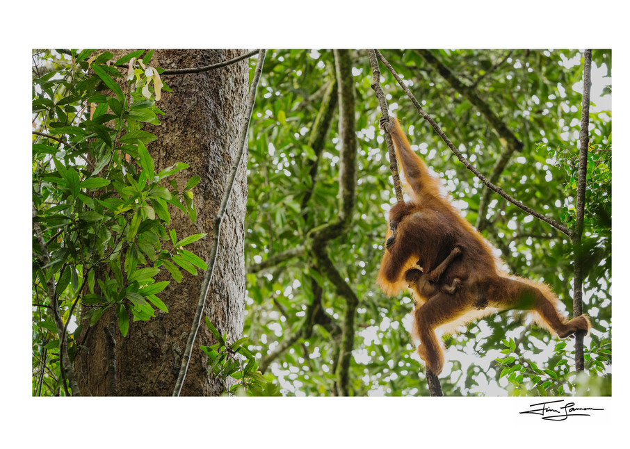 The wild ride of a infant Bornean orangutan, holding on to mother.