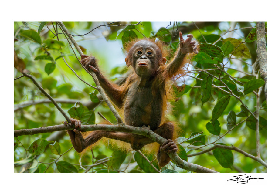 Baby orangutan in the trees art photograph.