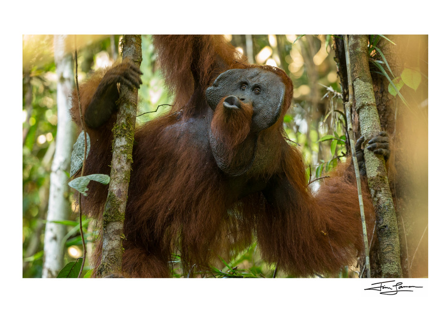 Adult male orangutan hanging from the trees kissing.  Art photograph for your walls.