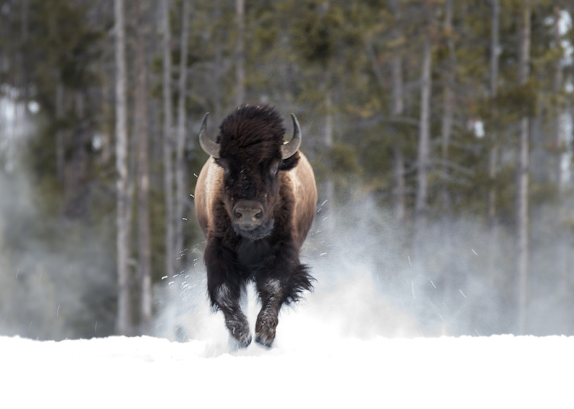 Bison Running Art   Drew Campbell Photography
