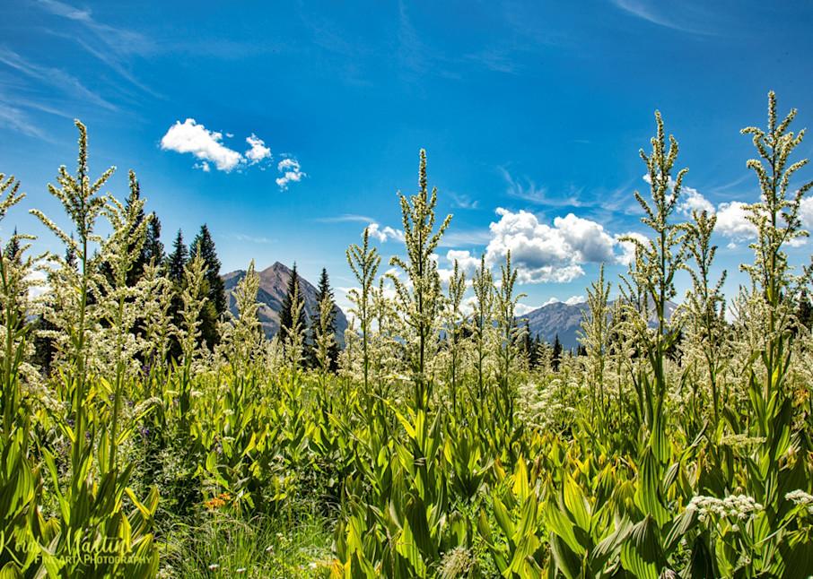 False Hellebore Photograph on  Snodgrass Trail  6956 | Colorado Photography | Koral Martin Fine Art Photography