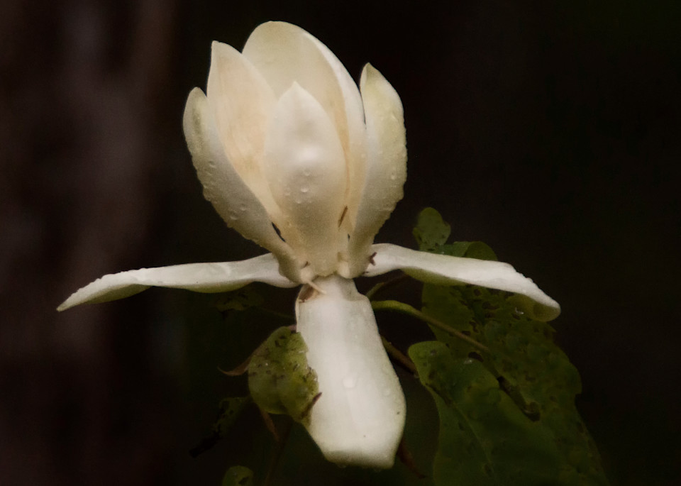 Wild Magnolia   Western North Carolina Art | Drew Campbell Photography