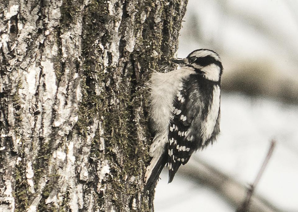 Woodpecker Art   Drew Campbell Photography