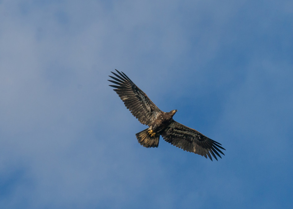 Juvenile Eagle Art | Drew Campbell Photography