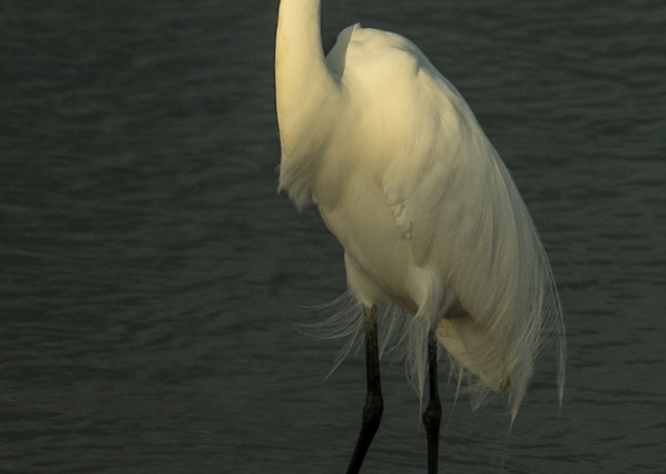 Great White Heron Art | Drew Campbell Photography