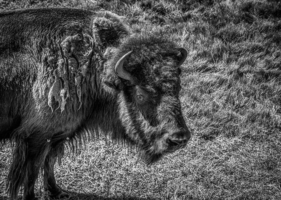 A Young Bison Art | Artist David Wilson