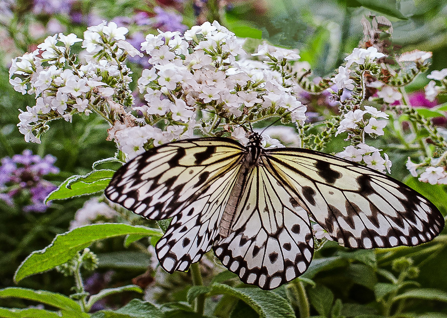 White Lace Butterfly