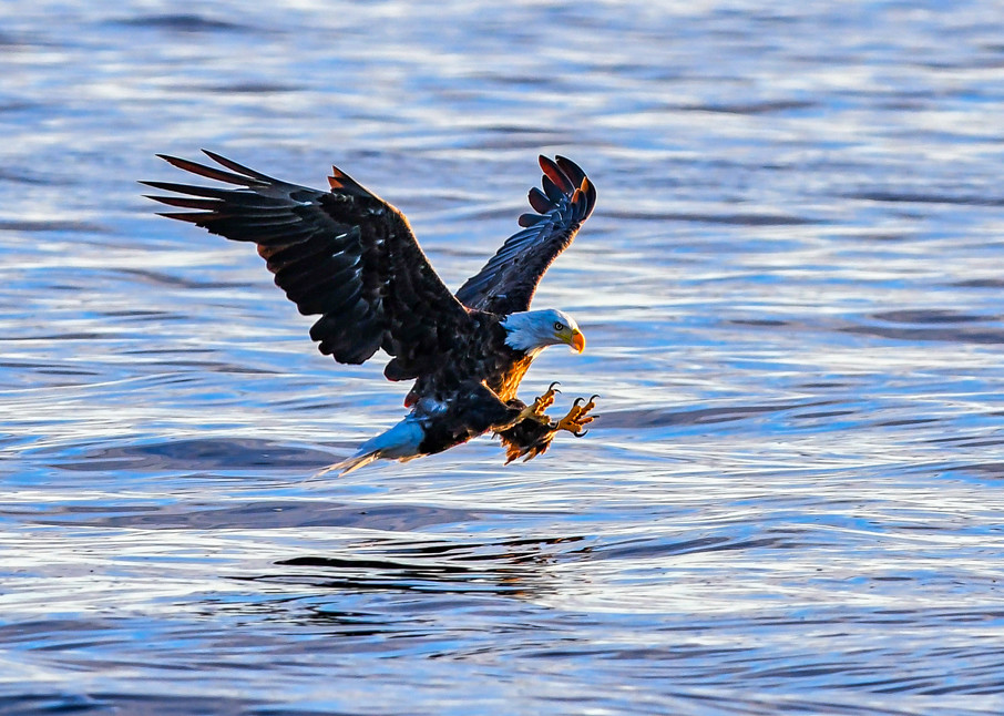 Bald eagle reaches for a fish - photography print