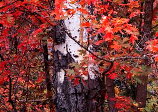 Birch And Maple Vpan Photography Art | Craig Primas Photography