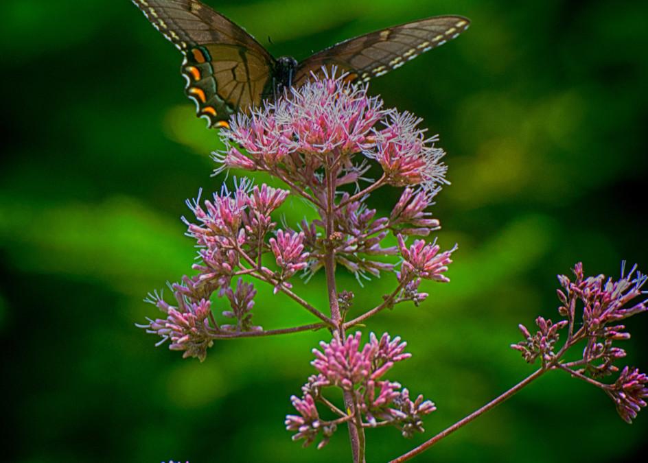 Joe Pye Weed Art | Drew Campbell Photography