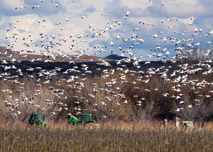 Circling Snow Geese Photography Art   Craig Primas Photography
