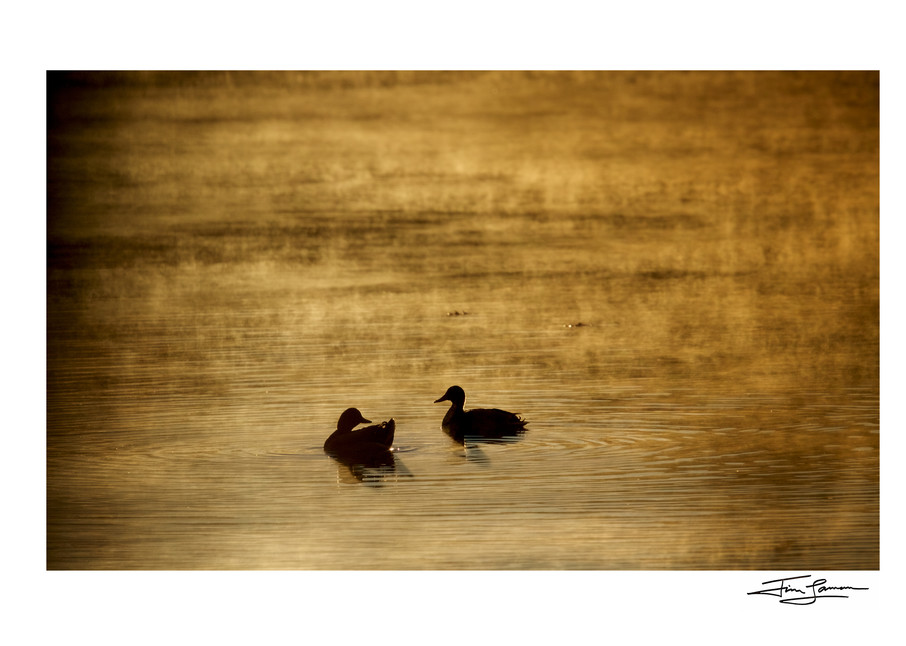 Signed photograph of mallards in the mist.