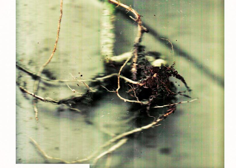 collard green roots II